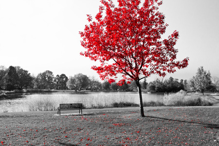 Photo pour Empty park bench under red tree in black and white - image libre de droit