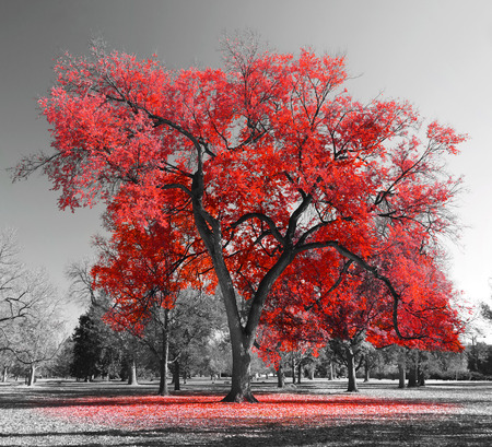 Foto de Big red tree in a black and white landscape - Imagen libre de derechos