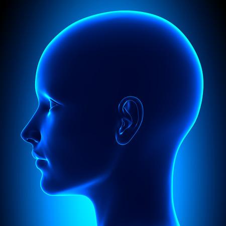 Photo pour Side Female Head Anatomy - image libre de droit