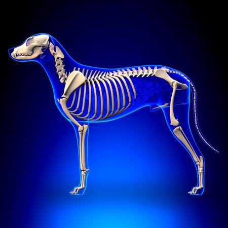 Photo pour Dog Skeleton - Canis Lupus Familiaris Anatomy - side view - image libre de droit