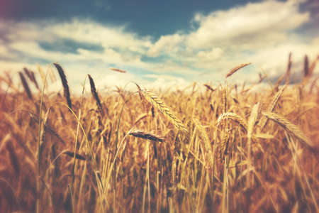 Photo for sunny wheat field - Royalty Free Image