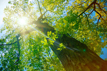 Photo pour Forest or park trees in sunlight. Nature in summer sun. - image libre de droit