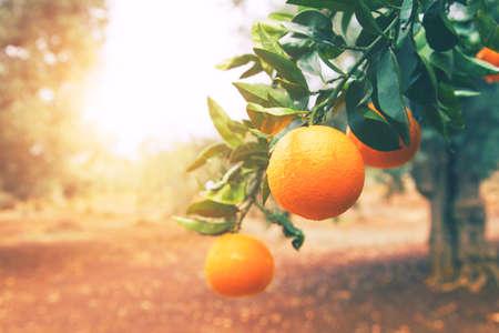 Photo for Orange tree - Royalty Free Image