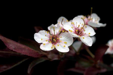 Plum Tree Blossom Isolated on Black