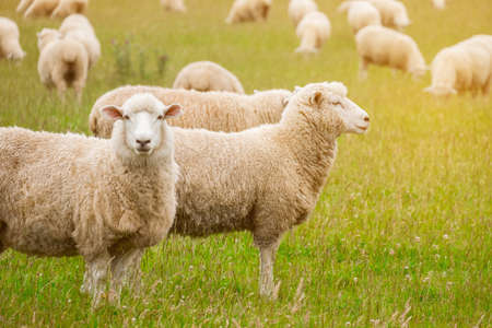 Photo pour Flock of sheeps grazing in green farm in New Zealand with warm sunlight effect. - image libre de droit