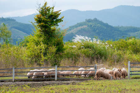 Foto de Brown sheeps walking to farm gate at farmland in the mountain. - Imagen libre de derechos