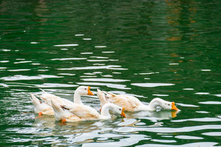 Photo for White ducks swimming on the green lake seeking for food. - Royalty Free Image