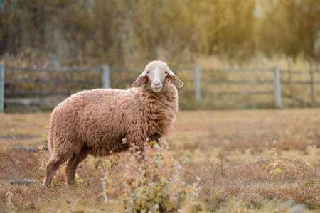 Photo for Brown sheep walking and seeking for grass to eat at farm. - Royalty Free Image