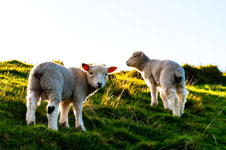 Foto de sheep grazing on the green farm. Fresh sunny with a warm light day. - Imagen libre de derechos