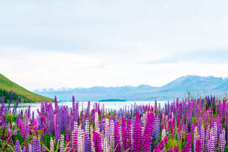 Photo pour Beautiful landscape of Lupins flower and Alpine mountains around Lake Tekapo area, New Zealand. - image libre de droit