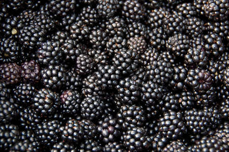 Photo for Blackberries  - Royalty Free Image