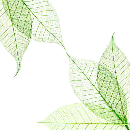 Photo pour Transparent leaves composition  isolated on white background - image libre de droit