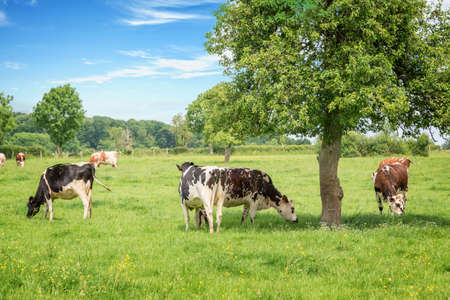 Foto de Norman black and white cows grazing on grassy green field with trees on a bright sunny day in Normandy, France. Summer countryside landscape and pasture for cows - Imagen libre de derechos
