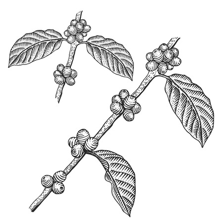 Illustration pour Engraving coffee branch. Coffee tree vector illustration. - image libre de droit