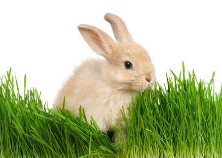 Portrait of adorable rabbit in green grass on white background