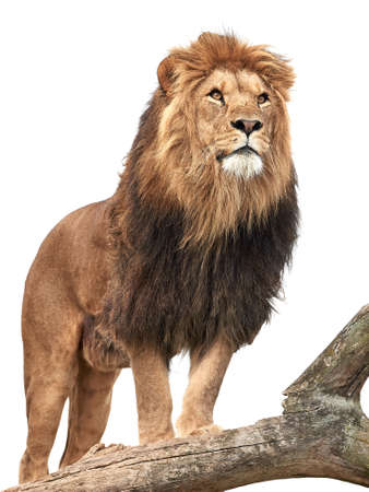 Photo pour Lion standing on a old tree trunk isolated on white - image libre de droit