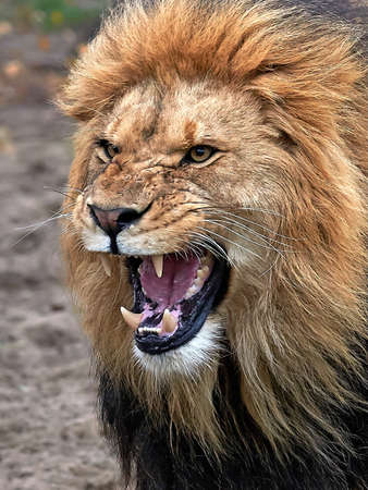 Photo pour Closeup of a angry lion with open mouth and showing teeth - image libre de droit