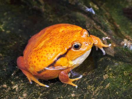Foto de Sambava tomato frog sitting in water in its habitat - Imagen libre de derechos