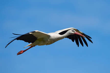 Photo for White stork in flight with blue skies in the background - Royalty Free Image