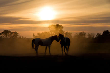 Silhoutte horses in love in the Netherlands at sunset