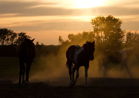 Silhoutte horses playing in the Netherlands at sunset