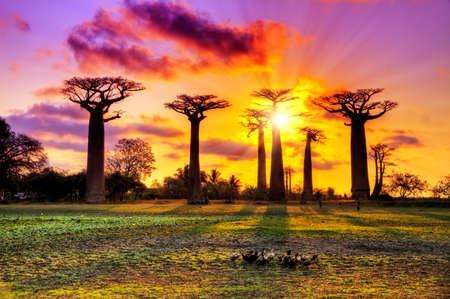 Foto de Beautiful Baobab trees at sunset at the avenue of the baobabs in Madagascar - Imagen libre de derechos