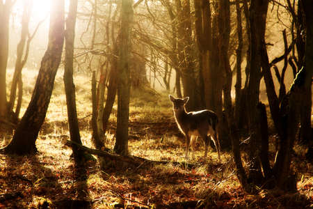 Photo pour Beautiful young deer at sunset in the forest in national park the AWD in the Netherlands - image libre de droit