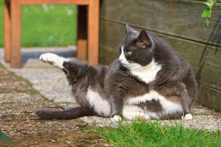 Photo for Beautiful fat cat with obesity doing some yoga in the garden in spring - Royalty Free Image
