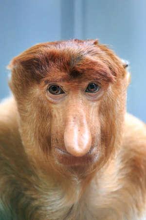 Photo pour Beautiful close up portrait of the proboscis monkey (Nasalis larvatus) or long-nosed monkey aka the bekantan in Indonesia - image libre de droit