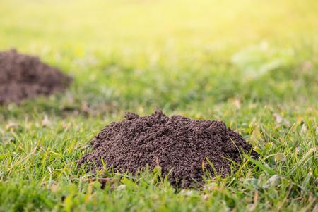 Photo pour Molehills. Damaged lawn it is result of European Mole activity. This pest is also known as Talpa Europaea. Copy space for text - image libre de droit