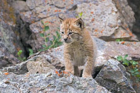 Siberian lynx kit