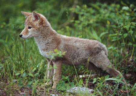 Photo for Coyote (Canis latrans) puppy - Royalty Free Image