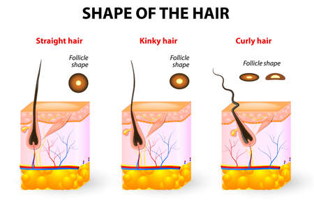 Illustration pour types of hair  Cross section of different hair texture  Follicle shape determines hair texture  Straight, wavy, curly, kinky and spiral hair  - image libre de droit