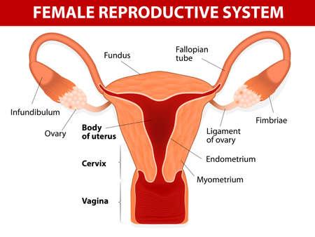 Human anatomy female reproductive system Uterus and uterine tubes Vector diagram