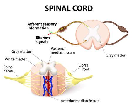 Illustration pour cross-section of spinal cord. Central nervous system - image libre de droit