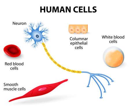 Illustration pour Anatomy of human cells  neuron, red and white blood cell, columnar epithelial cells and smooth muscle cells   vector illustration - image libre de droit