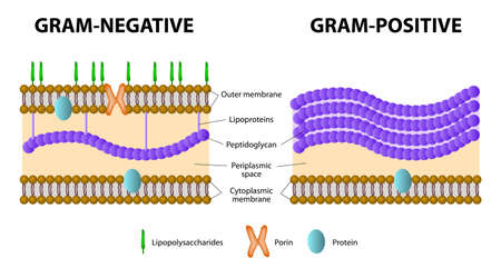 Illustrazione per Bacteria. Difference of Gram-positive from Gram-negative bacterial. - Immagini Royalty Free
