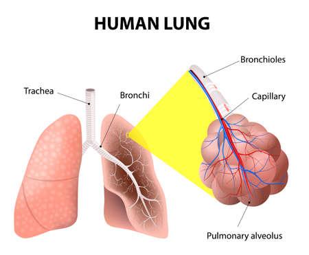 Illustration pour Structure of the human lungs.  - image libre de droit