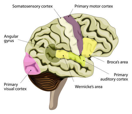Illustration pour The human brain. language-processing areas in the brain. Broca's area, wernicke's area, auditory, visual, somatosensory cortex and other. - image libre de droit