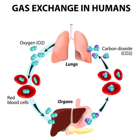 Illustration pour Gas exchange in humans. Path of Red Blood Cells. Oxygen transport cycle. Both oxygen and carbon dioxide are transported around the body in the blood: from the lungs to the organs and again to the lungs. - image libre de droit