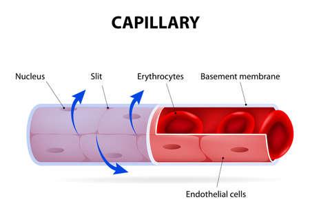 Illustration pour Capillary. blood vessel. labelled. Vector Diagram - image libre de droit