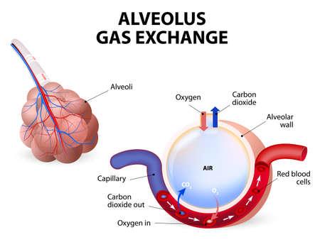 Illustration pour Alveolus gas exchange, alveoli and capillaries in the lungs. - image libre de droit