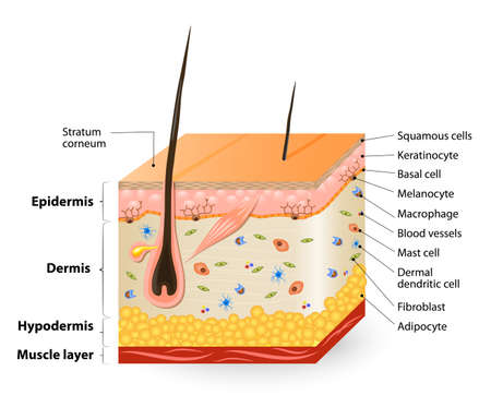 Illustrazione per Structure of the Human skin. Anatomy diagram. different cell types populating the skin. - Immagini Royalty Free