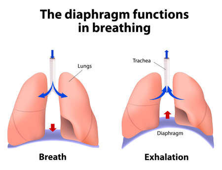 Illustration pour diaphragm functions in breathing. Breath and Exhalation. enlarging the cavity creates suction that draws air into the lungs - image libre de droit