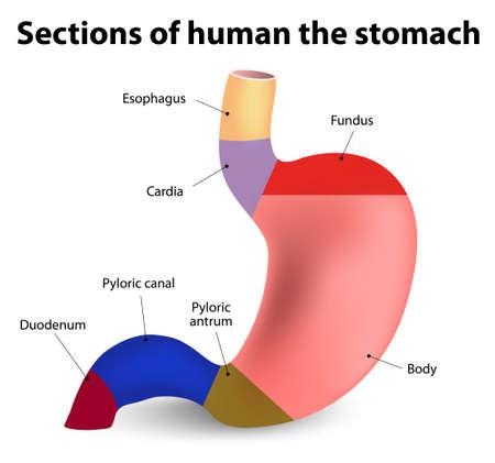Illustration pour Sections of the human stomach - image libre de droit