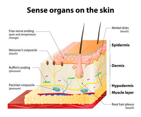 Illustrazione per Sense organs on the skin. Skin layers and principal cutaneous receptors - Immagini Royalty Free