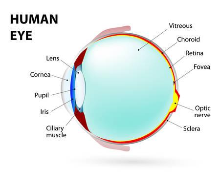 Illustration pour Schematic diagram of the eye.  - image libre de droit