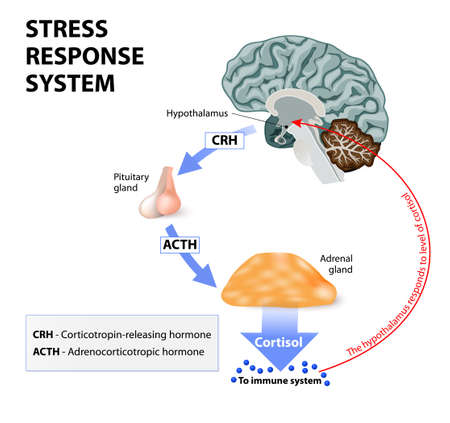 Illustrazione per Stress response system. Stress is a main cause of high levels of cortisol secretion. Cortisol is a hormone produced by the adrenal cortex. - Immagini Royalty Free