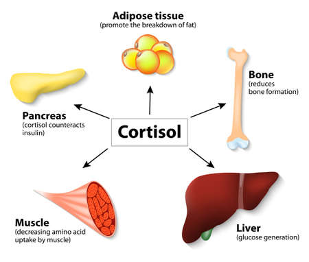 Illustrazione per Hormone cortisol and human organs. main functions cortisol in the body. It is hormone Released in response to stress and low blood-glucose concentration. - Immagini Royalty Free