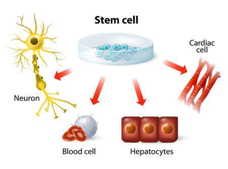 Illustration for stem cell application. Using stem cells to treat disease - Royalty Free Image